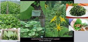 Ligularia_slide