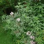 Sambucus nigra, elderberry