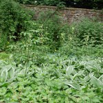 An old overgrown garden next to the pond was full of food....Hostas and Martagon lily ;)