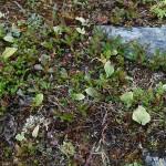 The light green leaves are Maianthemum bifolium (may lily / bittekonvall)