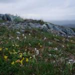 Alpine bistort (harerug) and bird's foot trefoil (tiriltunge)