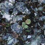 Rhodiola / roseroot / rosenrot