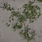 Beach edibles: Sea rocket / strandreddik (Cakile maritima) and sea sandwort / sandarve (Honckenya peploides)
