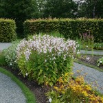 Campanula latifolia / giant bellflower / storklokke