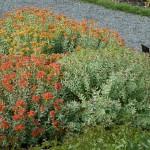 Roseroot / rosenrot
