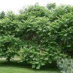 Juglans mandscurica / Manchurian walnut glade