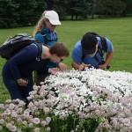 Admiring a double sneezewort (Achillea ptarmica)