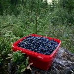 Masses of bilberries / blåbær!