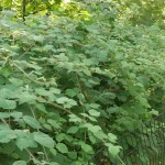 Rubus phoenicolasius / Japanese Wineberry is invasive in the park and is outcompeting Black Raspberry / Svartbringebær, Rubus occidentalis. Leda would rather have the latter