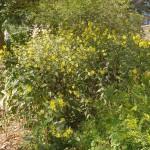 Helianthus tuberosus / Jerusalem Artichoke / Jordskokk