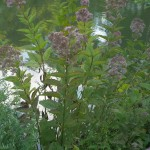 A wild Eupatorium species is a good butterfly plant; not edible
