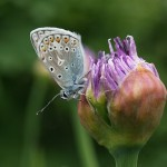 Common blue butterfly waiting for the flowers to open!