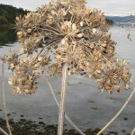 I harvested Heracleum persicum seed today