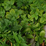 Clintonia borealis in fruit with Fragaria moschata...