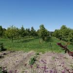 Selecting upright Hazels for easy harvest
