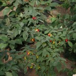 The following pictures are all from Lars' two greenhouses, full of interesting fruit trees! Cornus mas