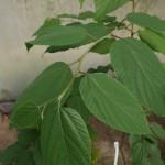 Hovenia dulcis / Japanese raisin tree