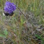 Succisa pratensis/Devil's Bit Scabious/Blåknapp and a bee pair!