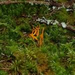 Coral fungi...Perhaps Ramariopsis crocea?? Safransmåfingersopp??