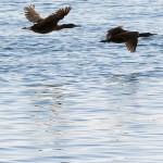 Cormorants / Storskarv