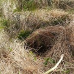 A foraged Angelica sylvestris / sløke root hole