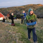 Seiersløk / Allium victorialis arriving on Skomvær