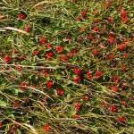 Dwarf Cornel / Skrubbær (Cornus suecica)