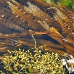 Sukkertare (Sea Belt), Fingertare (Oarweed) and Grisetang (Norwegian Kelp), all edible species...