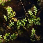 Potentilla anserina / Silverweed / Gåsemure growing in brackish water