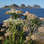 The nearby seabird islands were a beautiful backdrop for  the plants, Angelica sylvestris