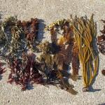 Little exhibition of seaweeds...