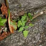 Atriplex species (tangmelde?), the only plants I found
