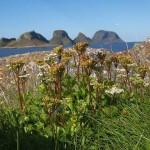 Scots Lovage / Ligusticum scoticum