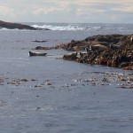 Seals on Skomvær