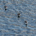 Puffins / Lunde