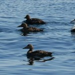 Eider Ducks / Ærfugl