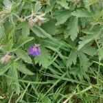 Wood Cranesbill / Skogstorkenebb, the year's first flowers here