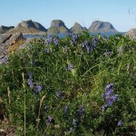 Vicia cracca - the flowers are edible in salads...
