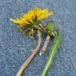 Probably one of the endemic dandelions / løvetann