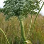 Peloric Angelica sylvestris (distorted flattened stem)