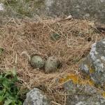 Great Black-backed gull / svartbak eggs