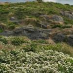 Scurvy Grass / Skjørbuksurt