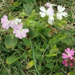 Red Campion / Jonsokblom came in various different colour variants