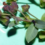 Notice that the Oyster plant was infested with black aphids!!!!