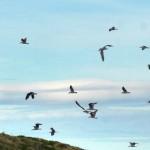 Great black-backed gulls / Svartbak