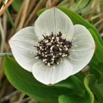 Cornus suecica with white bracts