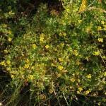 Tormentil / Tepperot (Potentilla erecta)