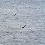 Eagle / Havørn and Hooded Crow / kråke