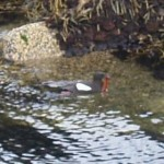 Black Guillemot / Teist with food for its young...