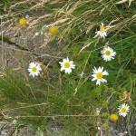Tripleurospermum maritimum / Sea Mayweed / Strandbalderbrå